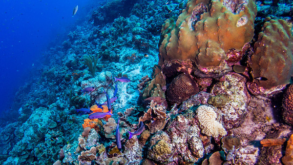 Creole Wrasse