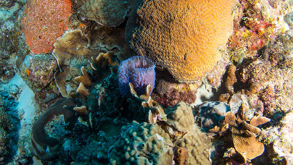 Azure Vase Sponge and Great Star Coral
