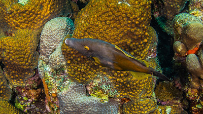 Whitespot Filefish