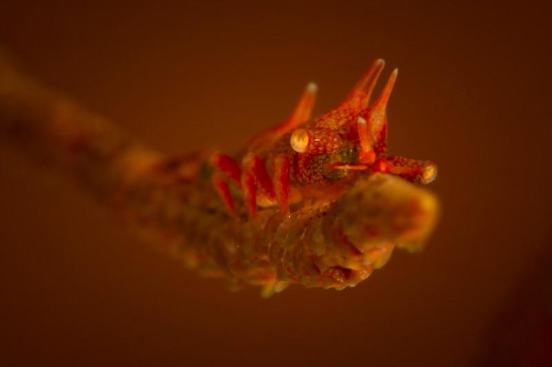 Dragon or Rhino Shrimp (Miropandalus hardingi)