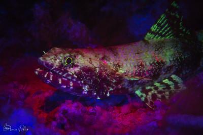 Fluoro Lizardfish