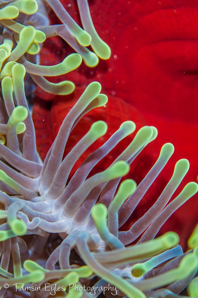 Bubble Anemone, Red Sea
