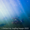 A shoal of chub fish swimming underwater.