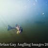 A chub fish prepares to eat a maggot underwater view. Seq Pic 1.
