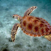 Green Sea Turtle in the protective waters of St. John, USVI