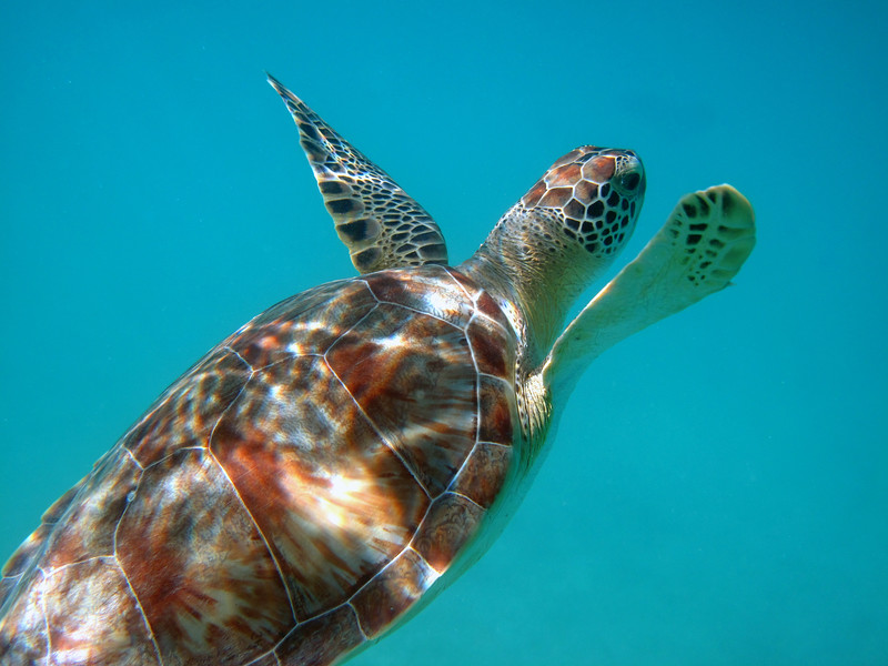 Green Turtle in the protected waters of St. John, USVI