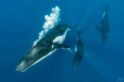 Baleines à bosse