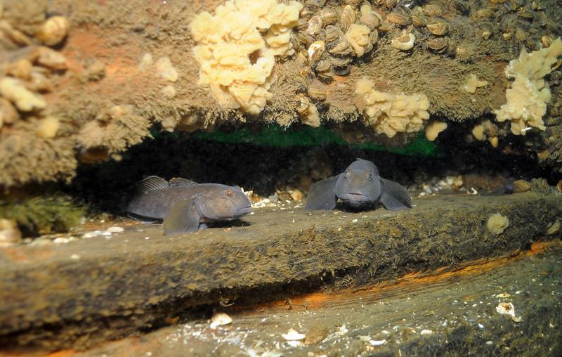 Gobies inside wreck, 1,000 Islands area in Ontario, Canada - September 2008