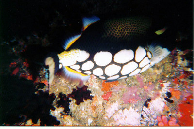 Unusual view of a clown triggerfish