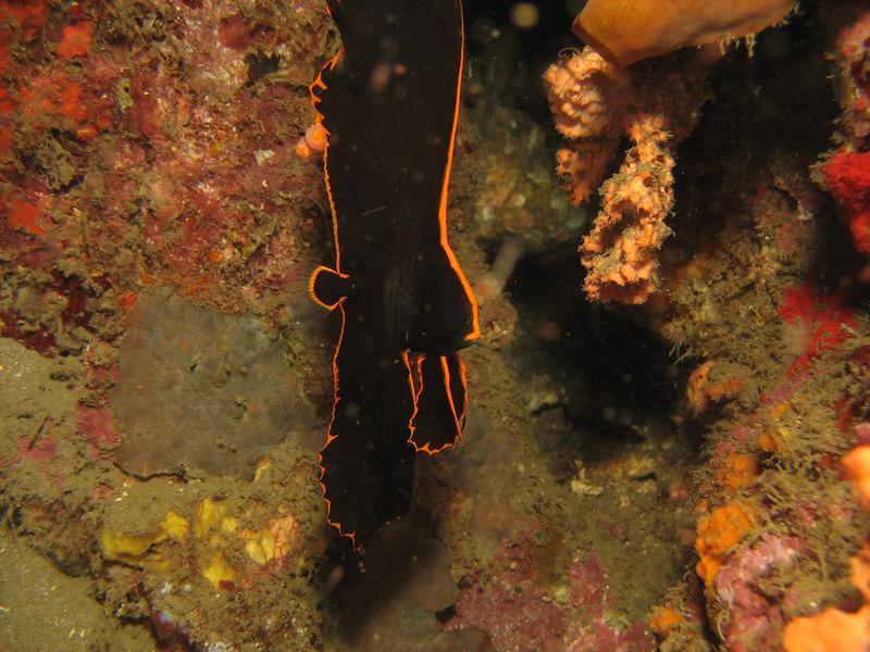 juvenile pinate batfish