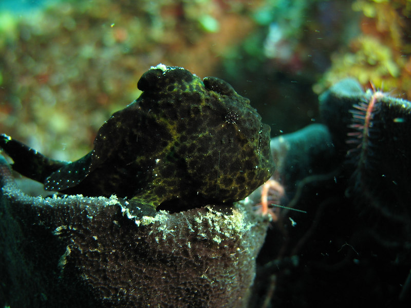 juvenile black frogfish