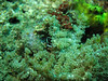 cleaner/anemone shrimp