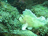 yellow leaf scorpionfish