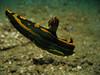 flying chromodoris nudibranch