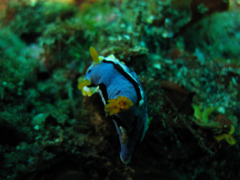 chromodoris nudibranch