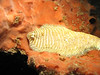 yellow stripe flounder