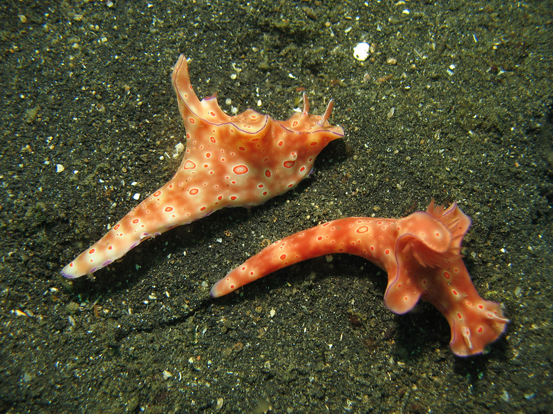 a pair of nudibranch