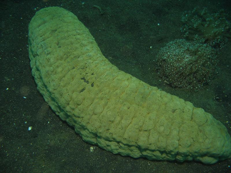 giant sea cucumber