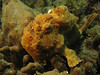yellow frogfish