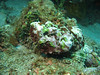 green algae stonefish