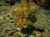 yellowish stonefish