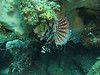 lionfish hanging upside down