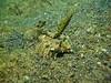 finger dragonet fish