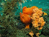orange frogfish