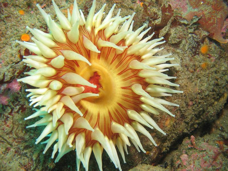 rose anemone