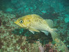 yellow rockfish
