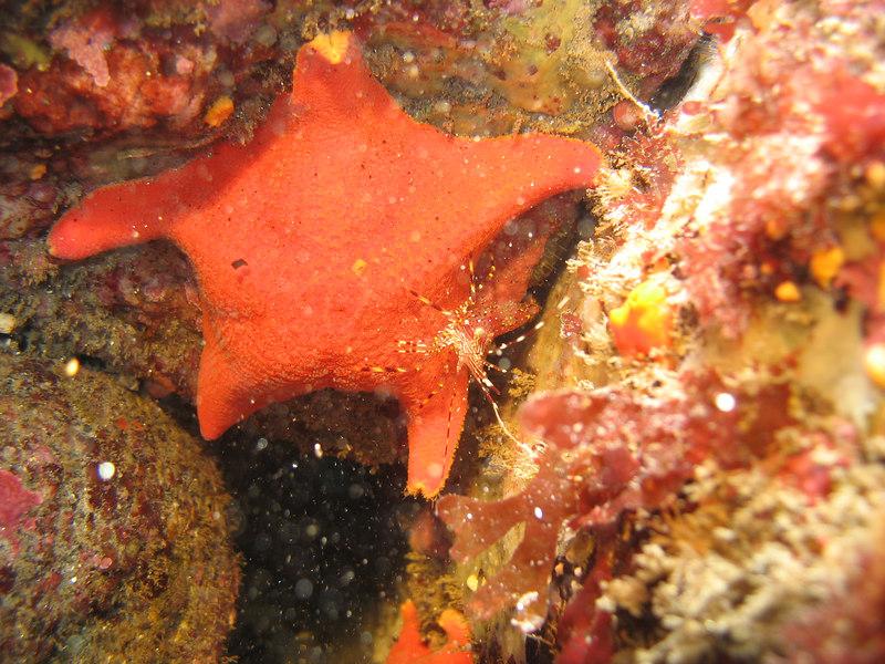 bat star and shrimp
