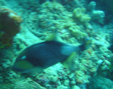 Bat caves: DSC00023: Blurry Titan Triggerfish