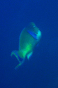 Bat Caves: DSC00034: Distant Bumphead Parrotfish