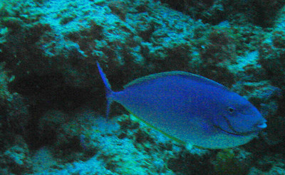 Bat Caves: DSC01942: surgeonfish