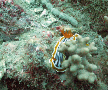 Chromodoris magnifica nudibranch