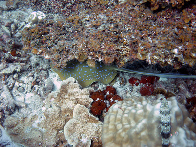 Blue-spotted ray hiding under a ledge