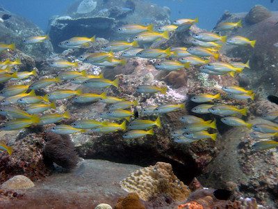 small school of yellow-lined snappers
