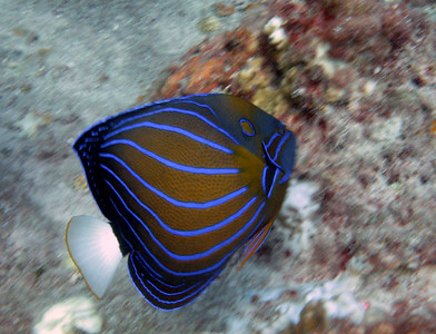 Blue-ringed angel fish