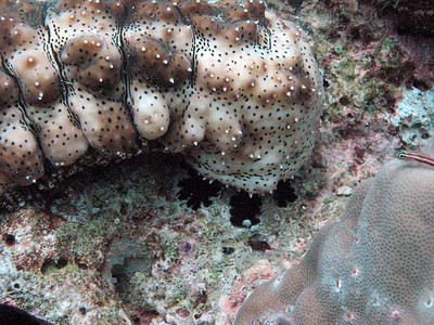 Sea cucumber feeding - close-up