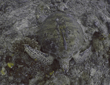 Green turtle and a remora