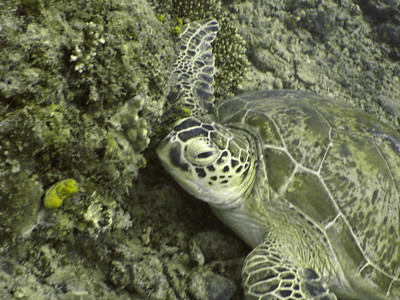 Close-up of the same green turtle