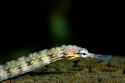 pipefish_DSC2886