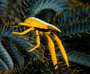 squat lobster_DSC2977