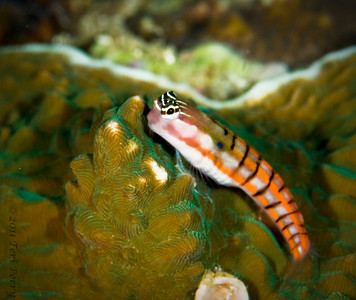 fish blennie_DSC2685