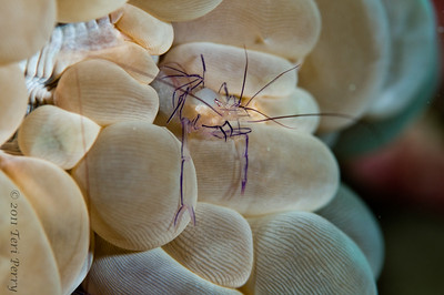 shrimp bubble coral_DSC3441