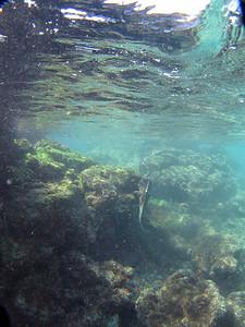 Another marine iguana feeding sub aqua (1 of 4)