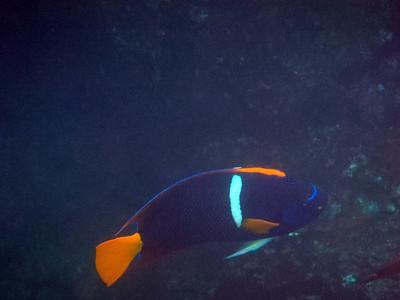 King Angelfish (Holcanthus passer)