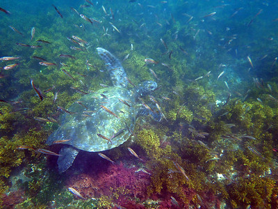Green turtle and a cloud of Black striped salema (Xenocys jessiae)