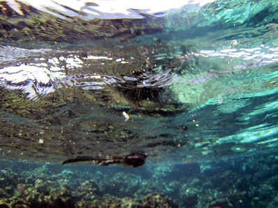 A marine iguana, swimming back to shore (seen side-on from below)