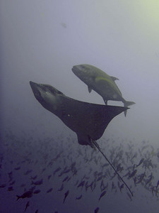 This picture kindly supplied by Peter Moorhouse, who was another guest on our liveaboard